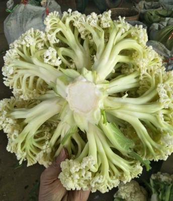 福建南平建瓯市白花菜花 松散 2~3斤 乳白