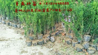 四川绵阳北川羌族自治县曼地亚红豆杉杯苗 0.5~1米