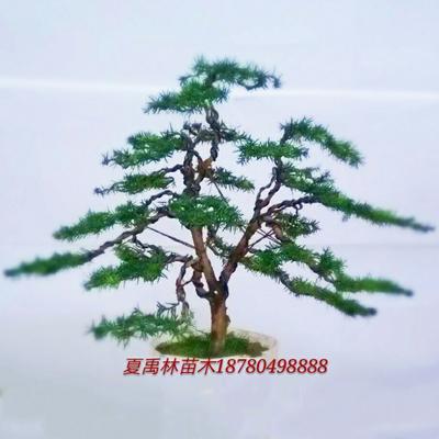 四川绵阳北川羌族自治县曼地亚红豆杉盆景 0.5~1米