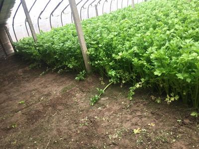 安徽省宿州市砀山县美国西芹 40~45cm 大棚种植 0.5~1.0斤