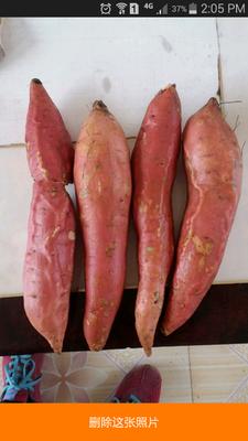 山东德州夏津县烟薯25 红皮 1~3两