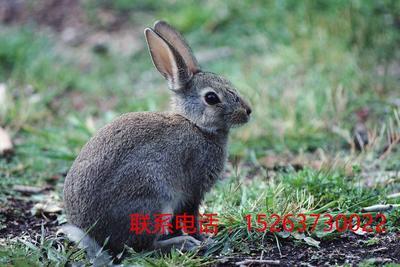 山东济宁嘉祥县比利时野兔 10.0斤