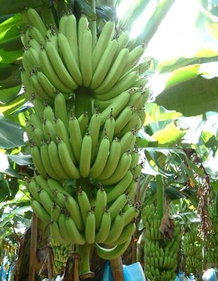 贵州黔南荔波县海南蕉 八成熟 40斤以下