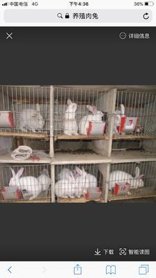 贵州安顺普定县肉兔 3-5斤