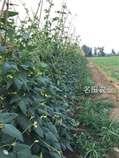 豆角种子 ≥97%