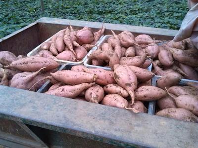 山东莱芜莱城区红香蕉红薯 红皮 3两以上