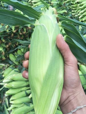 云南西双版纳景洪市库普拉902玉米 1% 鲜货
