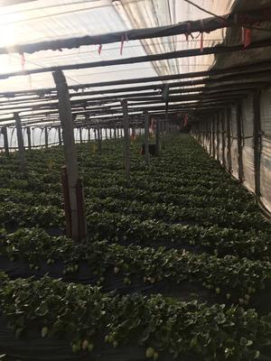 山东烟台海阳市白雪草莓 30克以上