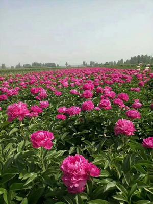 山东菏泽牡丹区多花芍药 2cm以下 0.5米以下