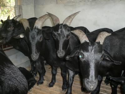 云南昆明东川区黑山羊 30斤以下