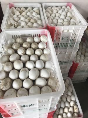 江苏徐州沛县鲜鹅蛋 食用 散装