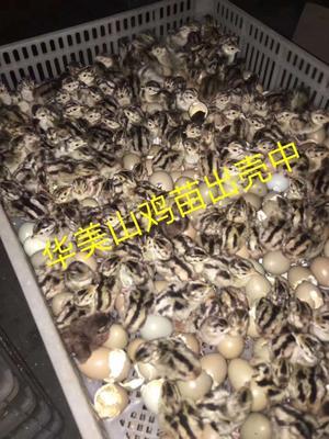 广东江门新会区山鸡苗