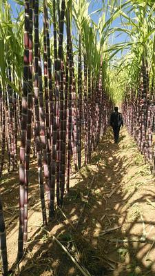 吉林长春绿园区红甘蔗 1.5 - 2m 6 - 8cm