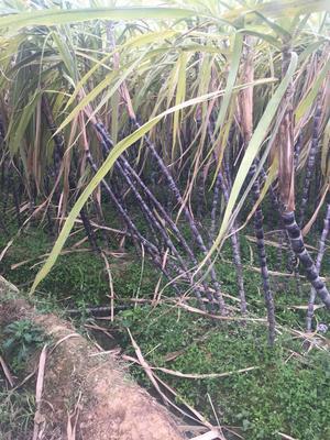 安徽阜阳太和县黑皮甘蔗 2 - 2.5m 5 - 6cm