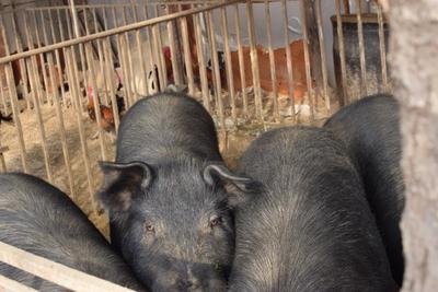 河北沧州河间市黑猪 200-300斤