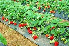 河南新乡新乡县奶油草莓 20克以上