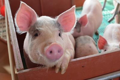 河北沧州河间市土白猪 200-300斤