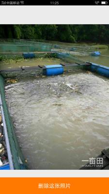 广西贺州八步区黄金叉尾鱼苗
