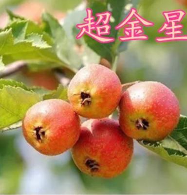 山东临沂平邑县大果山楂苗
