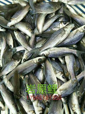 重庆潼南岩原鲤 人工养殖 0.05龙8国际官网官方网站