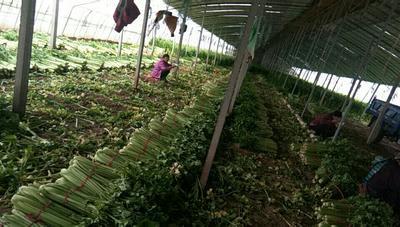 山东省菏泽市曹县法国皇后芹菜 55~60cm 大棚种植 1.5~2.0斤