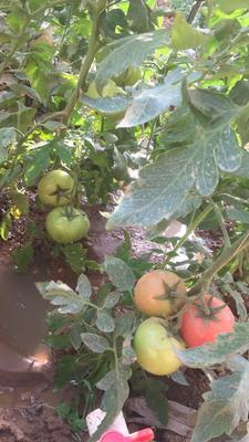 河北石家庄灵寿县硬粉番茄 不打冷 硬粉 弧二以上