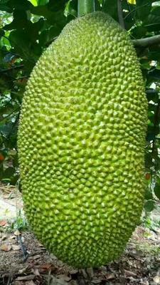 海南澄迈澄迈县海南菠萝蜜 15斤以上