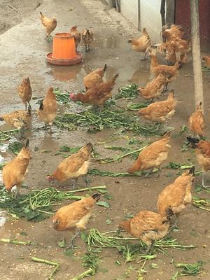 重庆渝北土鸡 统货 6~9月 全散养 3-4斤