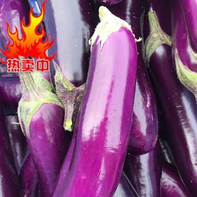 广东湛江徐闻县紫长茄 5两以上