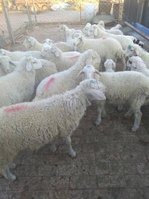这是一张关于小尾寒羊 50-80斤的产品图片