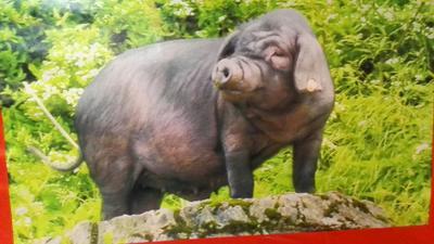 重庆涪陵黑土猪 200-300斤