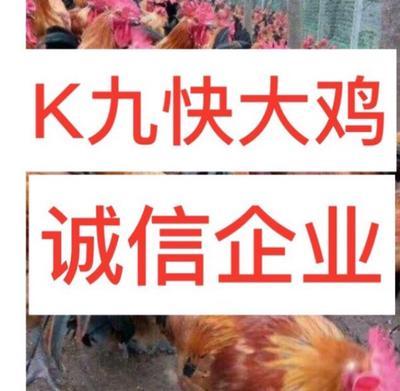 广西南宁西乡塘区K9鸡苗