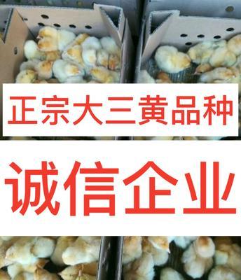 广西钦州钦北区大三黄鸡苗