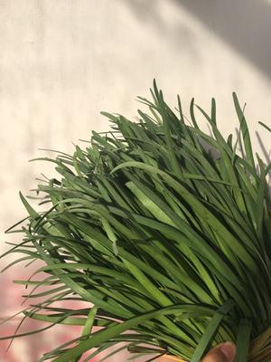 这是一张关于汉中韭王 头茬 30~35cm的产品图片