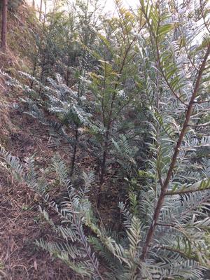 湖南邵阳绥宁县南方红豆杉 0.5~1米