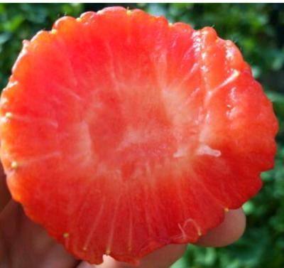 辽宁丹东元宝区丹东草莓 30克以上