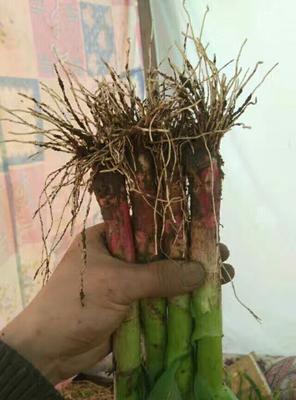 山东潍坊安丘市红根蒜苗 60 - 70cm