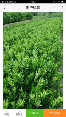 湖北宜昌秭归县纽荷尔脐橙苗 嫁接苗 0.5米以下