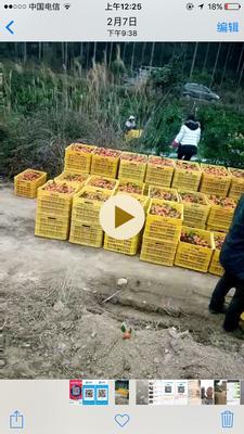 广西桂林永福县沙糖桔 4 - 4.5cm 1 - 1.5两