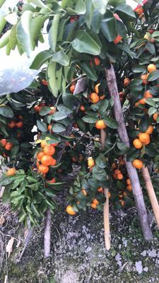 广西桂林荔浦县沙糖桔 3.5 - 4cm 1两以下
