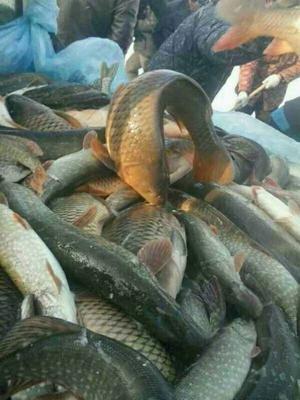 新疆维吾尔自治区克拉玛依市白碱滩区福海野生冷水鳊鱼 野生 1.5-2.5龙8国际官网官方网站