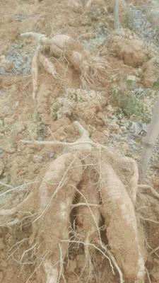 这是一张关于粉葛 2.5-3.0斤的产品图片