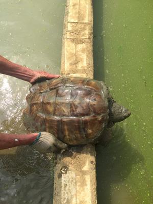 这是一张关于真鳄龟 50cm以上 10斤以上的产品图片