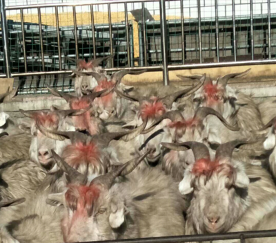 这是一张关于山羊 30斤以下的产品图片