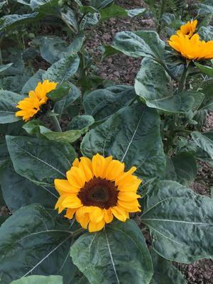 广东广州越秀区向日葵 0.5~1米