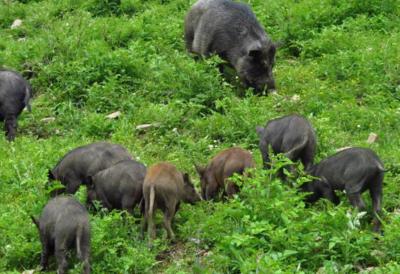 这是一张关于蕨麻猪 60斤以上的产品图片