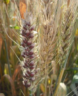 内蒙古自治区巴彦淖尔市乌拉特前旗黑小麦