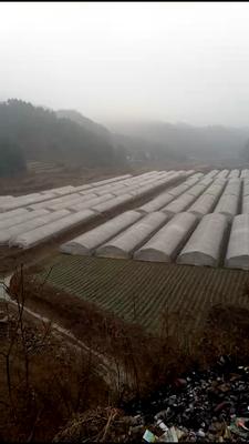 贵州省毕节市赫章县越冬菠菜 15~20cm
