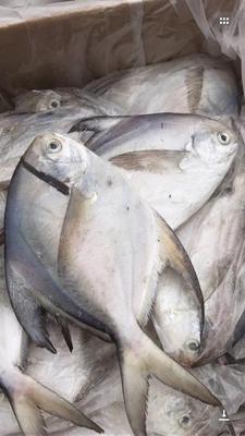 广东省汕头市龙湖区银鲳鱼 野生 0.5公斤以下