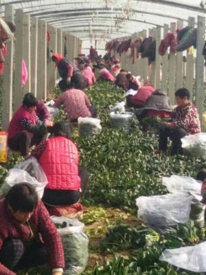 山东省滨州市惠民县全能菠菜 25~30cm